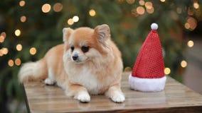 Πορτρέτο νάνο Spitz Το χαριτωμένο σκυλί βρίσκεται στην αγορά Χριστουγέννων Αστείο σκυλί με το καπέλο Santa απόθεμα βίντεο