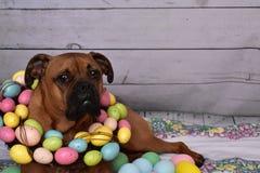 Πορτρέτο Πάσχας σκυλιών φυλής μπόξερ που φορά ένα στεφάνι αυγών Πάσχας Στοκ φωτογραφίες με δικαίωμα ελεύθερης χρήσης