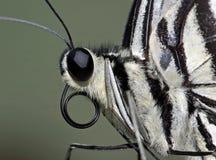 πορτρέτο πεταλούδων Στοκ Εικόνα
