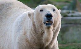 Πορτρέτο πολικών αρκουδών Στοκ εικόνες με δικαίωμα ελεύθερης χρήσης
