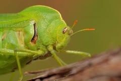 Grasshopper κύστεων Στοκ Εικόνα