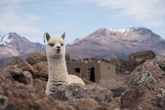 Πορτρέτο προβατοκαμήλου ενάντια στα βουνά Στοκ Εικόνες
