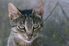 πορτρέτο προσώπου γατών Στοκ Φωτογραφίες