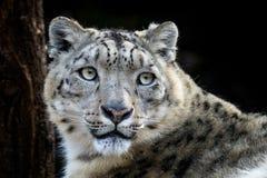 Πορτρέτο προσώπου της λεοπάρδαλης χιονιού - Irbis Στοκ Εικόνες
