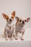 Πορτρέτο πυροβολισμός-4 σκυλιών Στοκ Φωτογραφίες