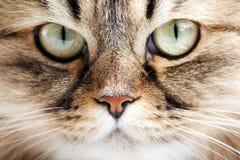 πορτρέτο Σιβηριανός γατών Στοκ εικόνα με δικαίωμα ελεύθερης χρήσης