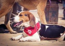 Πορτρέτο σκυλιών λαγωνικών Στοκ φωτογραφίες με δικαίωμα ελεύθερης χρήσης