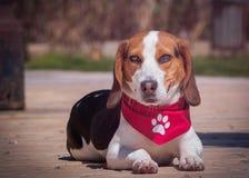 Πορτρέτο σκυλιών λαγωνικών Στοκ Φωτογραφίες