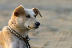 πορτρέτο σκυλιών Στοκ Εικόνες