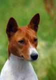 πορτρέτο σκυλιών basenji Στοκ φωτογραφία με δικαίωμα ελεύθερης χρήσης