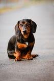 Πορτρέτο σκυλιών Dachshund Στοκ εικόνα με δικαίωμα ελεύθερης χρήσης