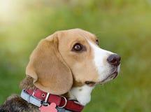 Πορτρέτο σκυλιών λαγωνικών στη φύση Στοκ Φωτογραφία