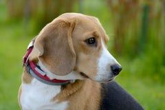 Πορτρέτο σκυλιών λαγωνικών στη φύση Στοκ Φωτογραφίες