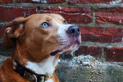 Πορτρέτο σκυλιών ενάντια στο τουβλότοιχο Στοκ φωτογραφία με δικαίωμα ελεύθερης χρήσης