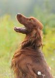 Πορτρέτο σκυλιών, ιρλανδικός ρυθμιστής στο πράσινο υπόβαθρο, υπαίθρια, vertic Στοκ Εικόνες