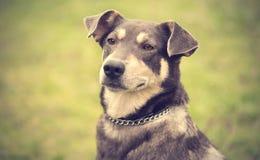 Πορτρέτο σκυλιών κινηματογραφήσεων σε πρώτο πλάνο Στοκ Εικόνες