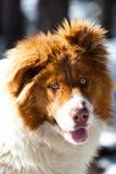 Πορτρέτο σκυλιών μπλε ματιών Στοκ εικόνες με δικαίωμα ελεύθερης χρήσης