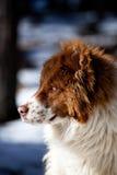 Πορτρέτο σκυλιών μπλε ματιών Στοκ εικόνα με δικαίωμα ελεύθερης χρήσης