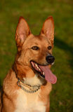 Πορτρέτο σκυλιών Africanis Στοκ φωτογραφία με δικαίωμα ελεύθερης χρήσης