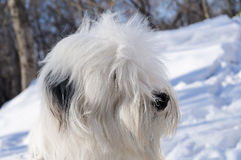 Πορτρέτο σκυλιών Bobtail Στοκ Φωτογραφίες