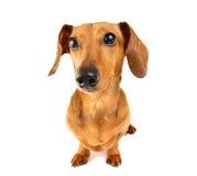 Πορτρέτο σκυλιών Dachshund Στοκ Φωτογραφία