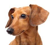 Πορτρέτο σκυλιών Dachshund Στοκ φωτογραφίες με δικαίωμα ελεύθερης χρήσης