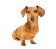 Πορτρέτο σκυλιών Dachshund Στοκ Φωτογραφίες