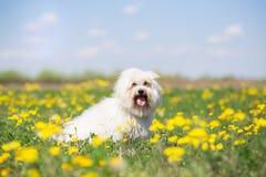 Πορτρέτο σκυλιών de Tulear βαμβακιού την ηλιόλουστη θερινή ημέρα στοκ εικόνα