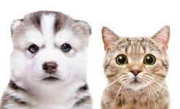 Πορτρέτο σκωτσέζικου του ευθύ γεροδεμένου κουταβιών σιβηρικός και γατών Στοκ Εικόνα
