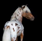 Πορτρέτο στο μαύρο backgound του αμερικανικού μικροσκοπικού αλόγου Στοκ Εικόνες