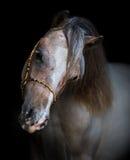 Πορτρέτο στο μαύρο backgound του αμερικανικού μικροσκοπικού αλόγου Στοκ φωτογραφίες με δικαίωμα ελεύθερης χρήσης