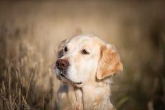 Πορτρέτο σχεδιαγράμματος της λατρευτής μπεζ retriever φυλής σκυλιών χρυσής συνεδρίασης στο μαραμένο τομέα σίκαλης το φθινόπωρο στοκ φωτογραφία με δικαίωμα ελεύθερης χρήσης