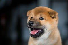 Πορτρέτο σχεδιαγράμματος του χαριτωμένου κουταβιού σκυλιών Shiba Inu με το tonque έξω σε ένα σκοτεινό υπόβαθρο στοκ φωτογραφίες