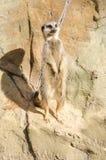 Πορτρέτο σχεδιαγράμματος σε ένα ενιαίο κοντός-παρακολουθημένο Meerkat που στέκεται στοκ φωτογραφίες