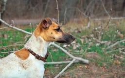 Πορτρέτο τεριέ αλεπούδων, ενός νέου σκυλιού, στη φύση στοκ εικόνες