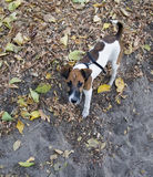 Πορτρέτο τεριέ αλεπούδων, νέο σκυλί στο δάσος φθινοπώρου στοκ εικόνες