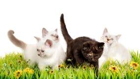 Πορτρέτο τεσσάρων βρετανικών γατακιών Shorthair που κάθονται, 8 εβδομάδες παλαιός, Στοκ φωτογραφίες με δικαίωμα ελεύθερης χρήσης