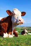 Πορτρέτο της αγελάδας σε ένα πράσινο λιβάδι Στοκ Εικόνες