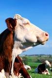 Πορτρέτο της αγελάδας Στοκ φωτογραφίες με δικαίωμα ελεύθερης χρήσης