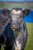 Πορτρέτο της αγελάδας Στοκ Φωτογραφία