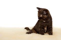 Πορτρέτο της βρετανικής συνεδρίασης γατακιών Shorthair, μαύρο χρώμα tortie Στοκ φωτογραφία με δικαίωμα ελεύθερης χρήσης