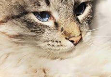 Πορτρέτο της γάτας με τα μπλε μάτια στοκ εικόνα με δικαίωμα ελεύθερης χρήσης