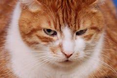 Πορτρέτο της γάτας Στοκ Εικόνα