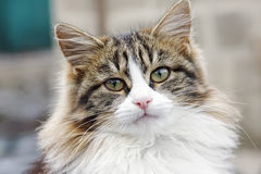 Πορτρέτο της γάτας Στοκ Φωτογραφία