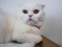 Πορτρέτο της γάτας Στοκ Εικόνες