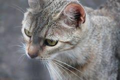 Πορτρέτο της γκρίζας γάτας σε γραπτό στοκ εικόνες με δικαίωμα ελεύθερης χρήσης
