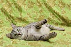 Πορτρέτο της γκρίζας κομψής εσωτερικής γάτας Στοκ Εικόνες