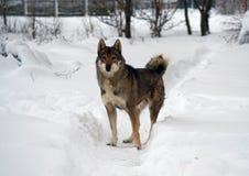 Πορτρέτο της δύσης η σιβηρική Λάικα Στοκ Εικόνες