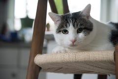 Πορτρέτο της εσωτερικής γάτας shorthair Στοκ εικόνα με δικαίωμα ελεύθερης χρήσης