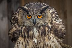 Πορτρέτο της ευρασιατικής αετός-κουκουβάγιας στοκ φωτογραφία με δικαίωμα ελεύθερης χρήσης